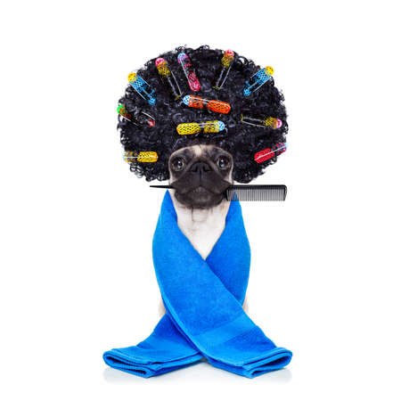 groomer: pug dog  with hair rulers  and afro curly wig  hair at the hairdresser with comb in mouth,  isolated on white background