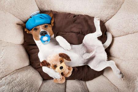 dolor de cabeza: Jack Russell perro muy enfermo y enfermo con bolsa de hielo o en la cabeza, el sufrimiento, la resaca y dolor de cabeza, descansando en la cama con el oso de peluche y chupete en la boca
