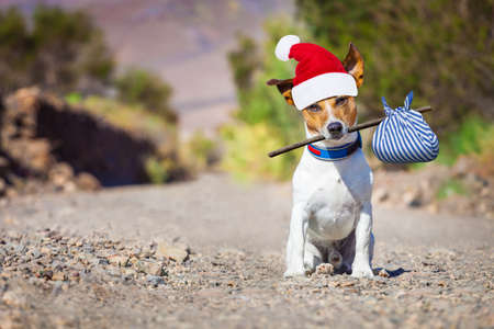 come home: jack russell dog abandoned and left all alone on the road or street with red santa hat , begging to come home for christmas