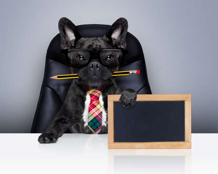 placard: office businessman french bulldog dog with pen or pencil in mouth  , behind empty blank blackboard, sitting on a leather chair