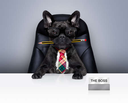 office businessman french bulldog dog  as  boss and chef , with pen or pencil in mouth siting on leather chair and desk