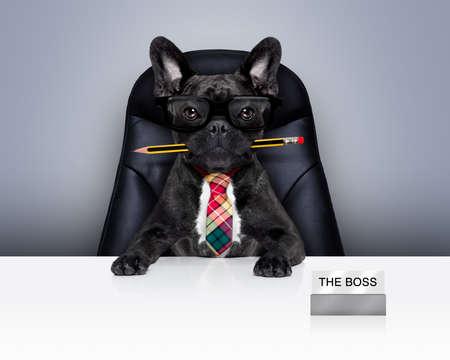 jefe: Oficina empresario francés bulldog como jefe y jefe de cocina, con la pluma o un lápiz en la boca ubicación en la silla de cuero y escritorio