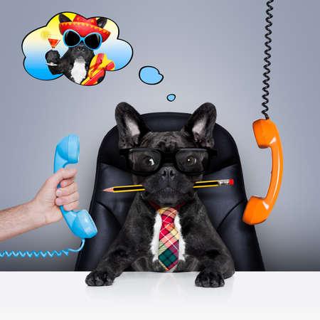 bureau d'affaires français bulldog chien comme patron et chef, occupé et l'épuisement professionnel, assis sur une chaise en cuir et d'un bureau, dans le besoin pour les vacances