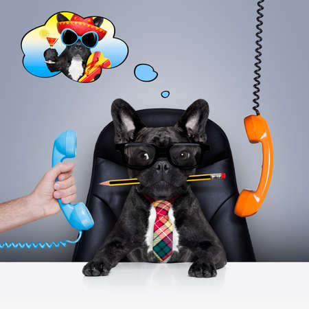 secretary desk: office businessman french bulldog dog  as  boss and chef , busy and burnout , sitting on leather chair and desk, in need for vacation