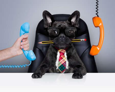 Bürokaufmann Französisch Bulldog Hund als Chef und Küchenchef beschäftigt und Burnout, sitzen auf Leder-Stuhl und Schreibtisch, Telefon hanging around