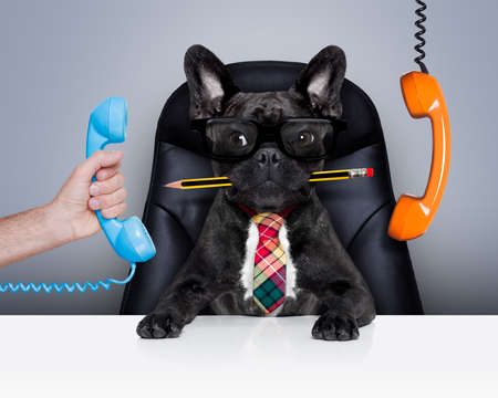 hablando por celular: oficina de negocios francés bulldog como jefe y jefe de cocina, ocupado y el agotamiento, sentado en la silla de cuero y un escritorio, teléfonos dando vueltas
