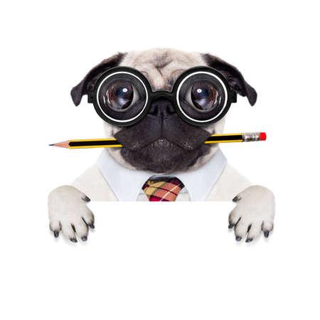 stumm verrückt mopshund mit Nerd-Brille als Büro Geschäft Arbeiter, hinter leer leere Banner oder Schild, isoliert auf weißem Hintergrund