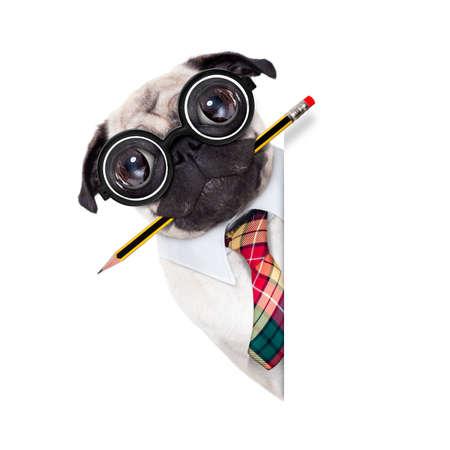 dumb fou chien carlin avec des lunettes nerd comme un travailleur de l'entreprise de bureau avec un crayon dans la bouche, derrière la bannière ou une affiche en blanc vide, isolé sur fond blanc Banque d'images