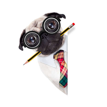 dumb crazy pug dog with nerd glasses as an office business worker with pencil in mouth ,behind empty blank banner or placard,  isolated on white background Stockfoto