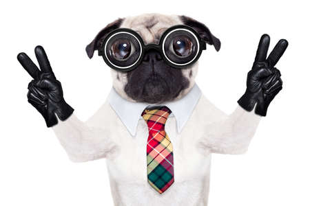 dumb crazy pug dog with nerd glasses as an office business worker with pencil in mouth ,making peace and victory signs with finger ,  isolated on white background