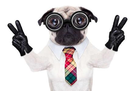 dumb fou chien carlin avec des lunettes nerd comme un travailleur de l'entreprise de bureau avec un crayon dans la bouche, ce qui rend les signes de paix et de victoire avec le doigt, isolé sur fond blanc