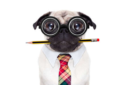 animal idiot: dumb crazy pug dog with nerd glasses as an office business worker with pencil in mouth , isolated on white background Stock Photo