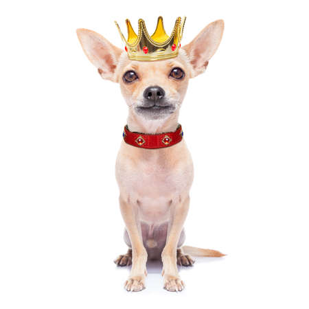 chihuahua dog as king with crown  looking and staring  at you ,while sitting on the ground or floor, isolated on white background