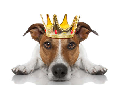 jack russell dog as king with crown  looking and staring  at you ,while lying on the ground or floor, isolated on white background Stock Photo