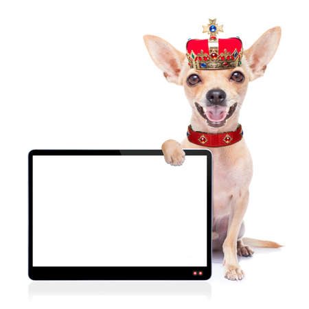 chihuahua dog as king with crown  looking and staring  at you ,behind laptop pc tablet computer screen , isolated on white background