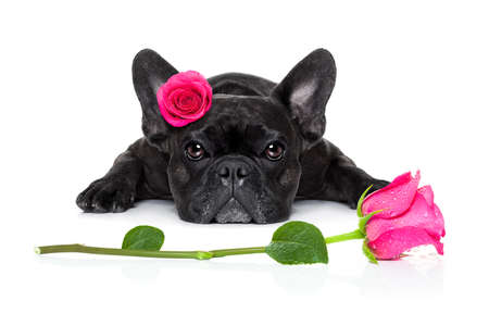 cute puppy: french bulldog  dog looking and staring at you   ,while lying on the ground or floor, with a valentines rose on head and on floor, isolated on white background, rose on head and on floor