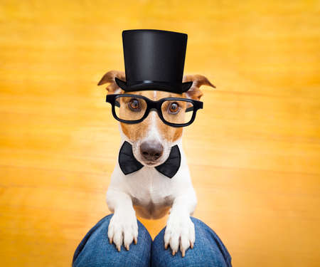 lap dog: jack russell dog ready for a walk with owner or hungry ,begging on lap , inside their home wearing a hat and black glasses Stock Photo