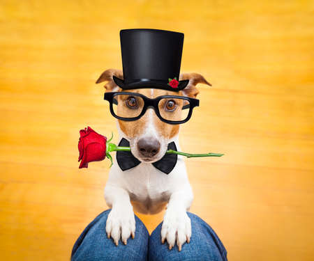 lap: jack russell dog ready for a walk with owner with valentines rose in mouth wearing a black hat, begging on lap , inside their home