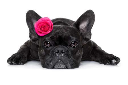 Französisch Bulldog Hund suchen und starrt dich an, während auf dem Boden oder auf dem Boden liegend, mit einem Valentines am Kopf und am Boden Rose, isoliert auf weißem Hintergrund,
