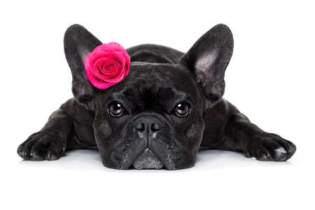 birthday flowers: french bulldog  dog looking and staring at you   ,while lying on the ground or floor, with a valentines rose on head and on floor, isolated on white background,