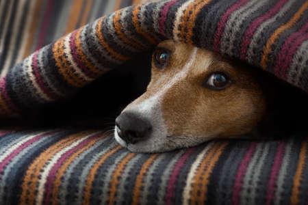 Jack Russell perro dormido debajo de la manta en la cama del dormitorio, enfermo o cansado, sábana que cubría su cabeza Foto de archivo - 49563194