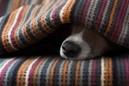 Jack Russell hond slaapt onder de deken in bed in de slaapkamer, ziek, ziek of moe, blad dekking van zijn gezicht Stockfoto