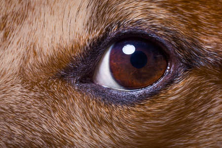 a close up: jack russell dog close up of the eyes, with iris and pupil as macro shoot, fur and hair visible