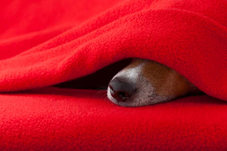 overslept: jack russell dog  sleeping under the blanket in bed the  bedroom, ill ,sick or tired,  red sheet covering its face
