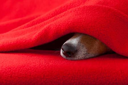 Jack Russell hund sova under filten i sängen sovrummet, sjuk, sjuk eller trött, rött ark täcker ansiktet