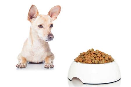 perro comiendo: perro hambriento chihuahua con el plato de comida, esperando y mirando a ella, aislado en el fondo blanco Foto de archivo