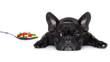 Französisch Bulldog Hund mit Kopfschmerzen und krank, krank oder mit hohem Fieber, Leiden, Pillen in einem Löffel, isoliert auf weißem Hintergrund