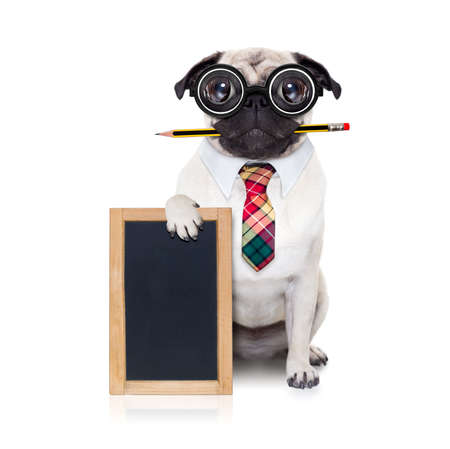 placard: dumb crazy pug dog with nerd glasses as an office business worker with pencil in mouth ,behind empty blank banner and blackboard,  isolated on white background