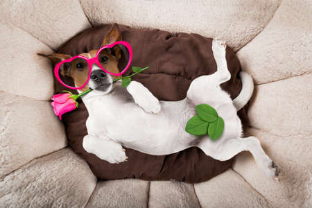 jack russell  dog looking and staring at you   ,while lying on bed with valentines rose in mouth,in love Stock Photo