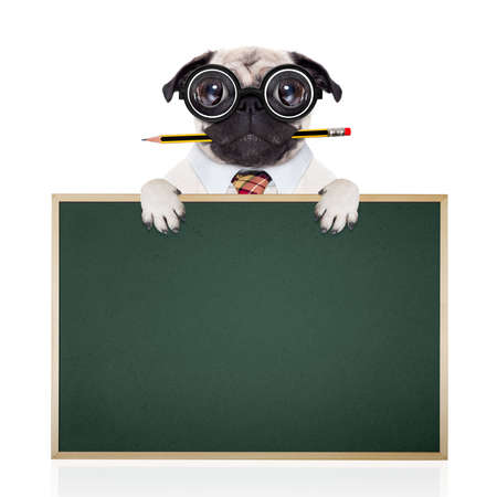 animal idiot: dumb crazy pug dog with nerd glasses as an office business worker with pencil in mouth ,behind empty blank banner and blackboard,  isolated on white background