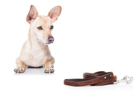 치와와 강아지, 흰색 배경에 고립 된 구걸와 소유자와 함께 산책을 기다리고 스톡 콘텐츠