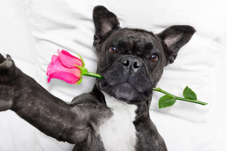 lovers in bed: french bulldog  dog looking and staring at you   ,while lying on bed with valentines rose in mouth , taking a selfie , in love