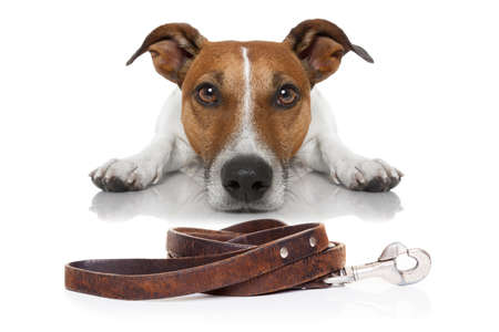 dog leashes: jack russell dog waiting for a walk with owner, begging and looking at you , isolated on white background