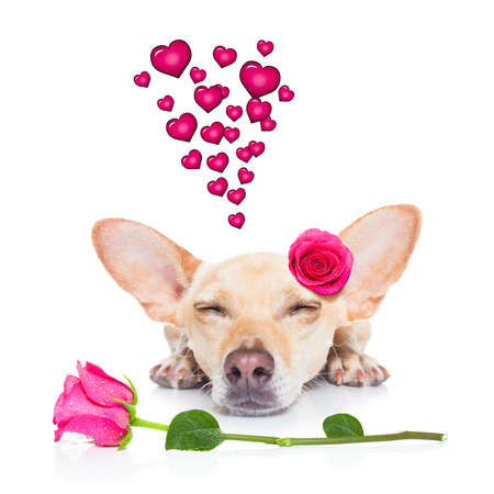 chihuahua dog looking and staring at you   ,while lying on the ground or floor, with a valentines rose on head and on floor, isolated on white background,