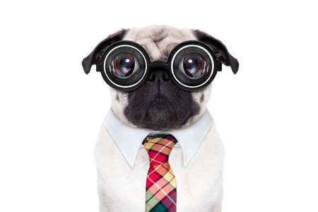 animal idiot: dumb crazy pug dog with nerd glasses as an office business worker, isolated on white background