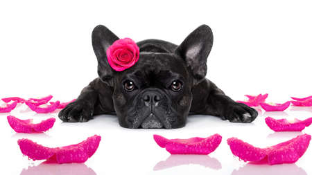valentines dog: french bulldog  dog looking and staring at you   ,while lying on the ground or floor, with a valentines rose on head and on floor, isolated on white background,