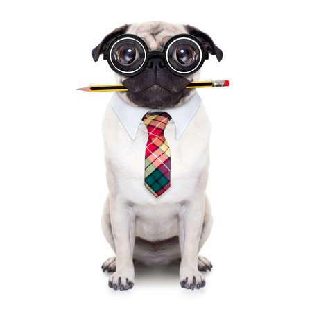 dumb crazy pug dog with nerd glasses as an office business worker with pencil in mouth ,full body ,  isolated on white background Stock fotó