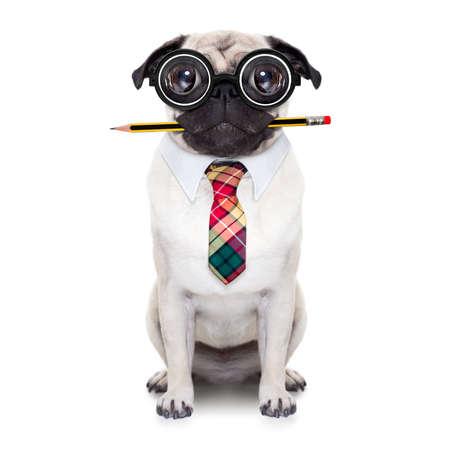 anteojos: tonto perro pug loco con gafas de empollón como un trabajador de la oficina de negocios con un lápiz en la boca, de cuerpo completo, aislado en fondo blanco