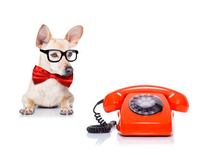 chihuahua dog with glasses as secretary or operator with red old  dial telephone or retro classic phone