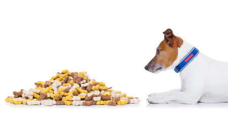 hungry  jack russell dog beside a big mound or cluster of food , isolated on white background