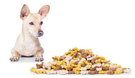 hungry  chihuahua dog beside a big mound or cluster of food , isolated on white background