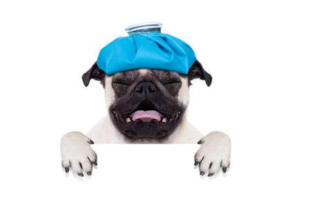 pug hond met hoofdpijn en kater met ijs zak of pak ijs op het hoofd, lijden en huilen, achter de banner of placard, geïsoleerd op een witte achtergrond Stockfoto
