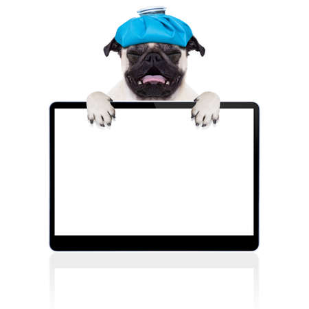 cold cure: pug  dog  with  headache and hangover with ice bag or ice pack on head,  suffering and crying ,behind pc computer screen or tablet,  isolated on white background