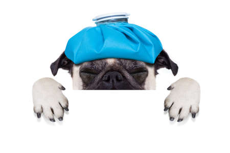 cold cure: pug  dog  with  headache and hangover with ice bag or ice pack on head,  suffering and crying ,behind banner or placard,  isolated on white background