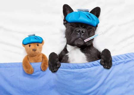 bulldog: bulldog francés con dolor de cabeza y la resaca con una bolsa de hielo o una compresa de hielo en la cabeza, con los ojos cerrados el sufrimiento, en la cama descansar y dormir