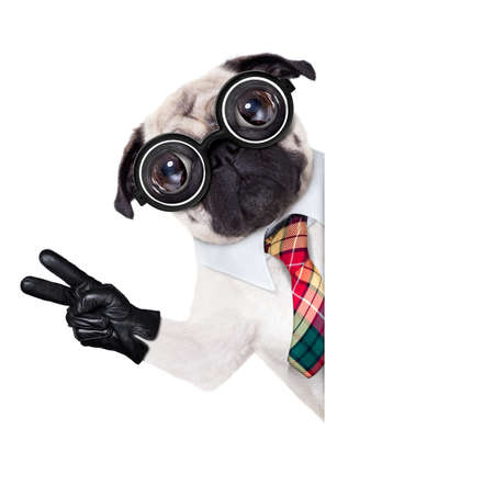 animal idiot: dumb crazy pug dog with nerd glasses as an office business worker with pencil in mouth ,making peace and victory signs with finger ,  isolated on white background